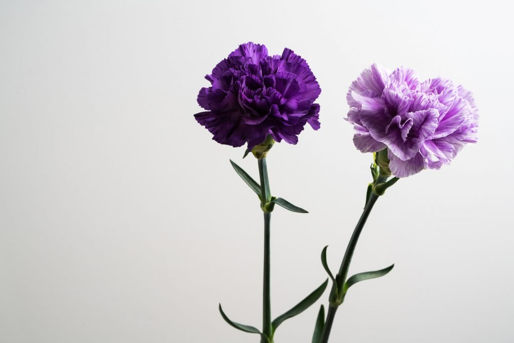 Two carnations one is deep purple the other light purple on a grayish background