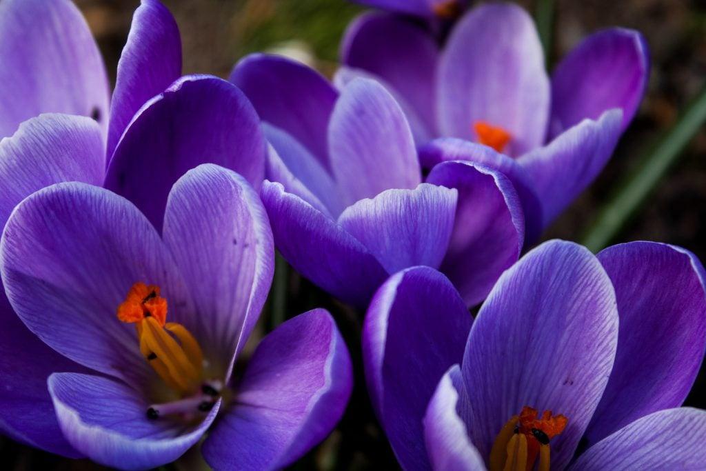 Closeup of purple crocus flowers