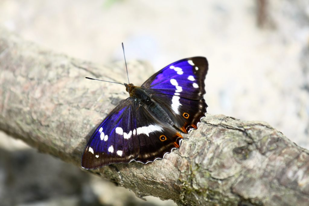Close up of a single purple emperor butterfly on a branch