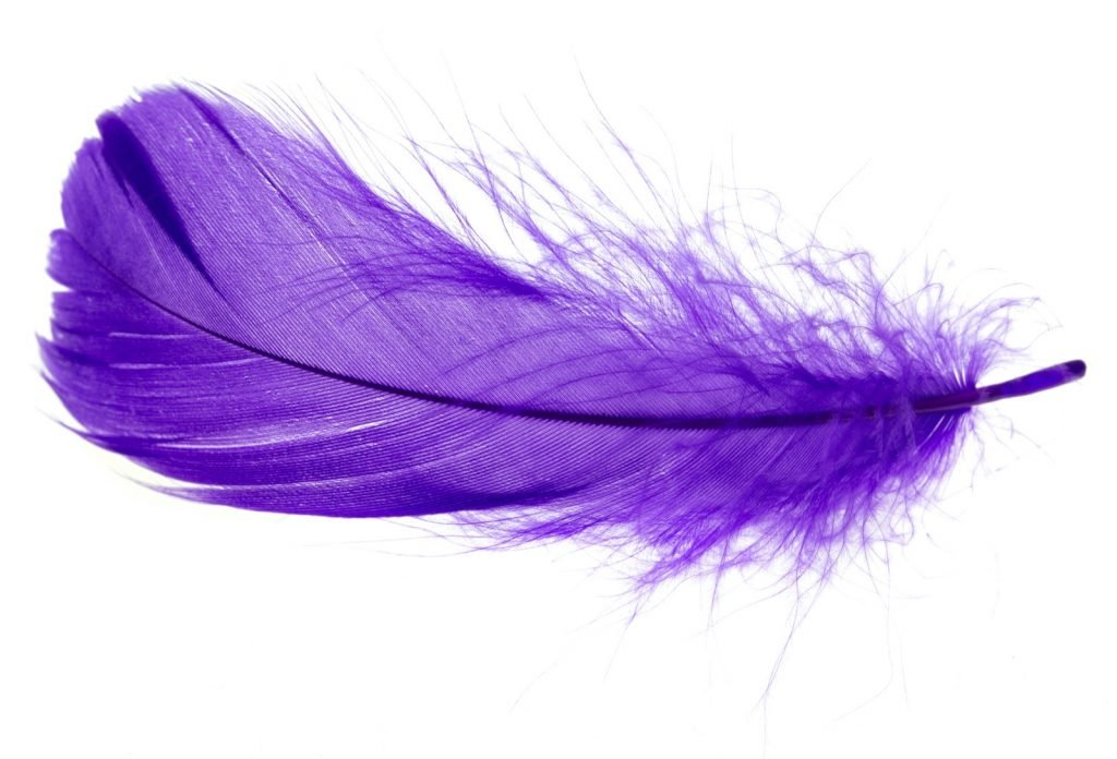 Purple feather isolated on white background