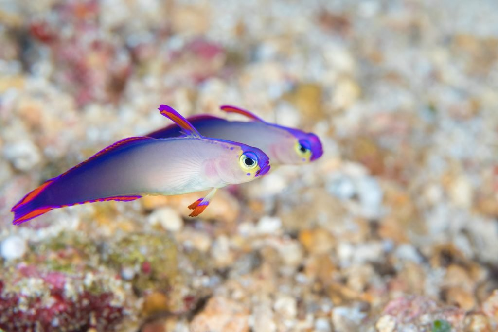 Closeup of two purple firefish by a coral reef