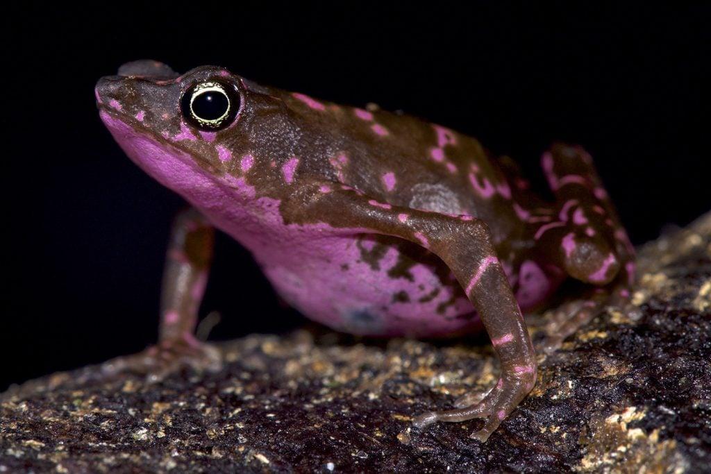 Purple harlequin toad aka Atelopus Spumarius Barbotini