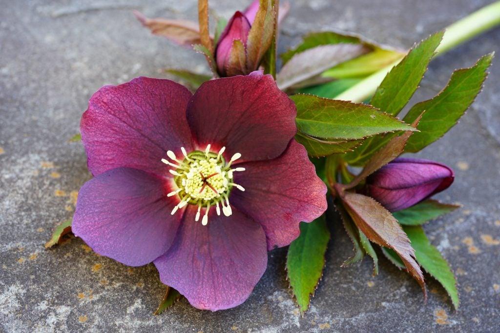 Freshly picked purple hellebore flower