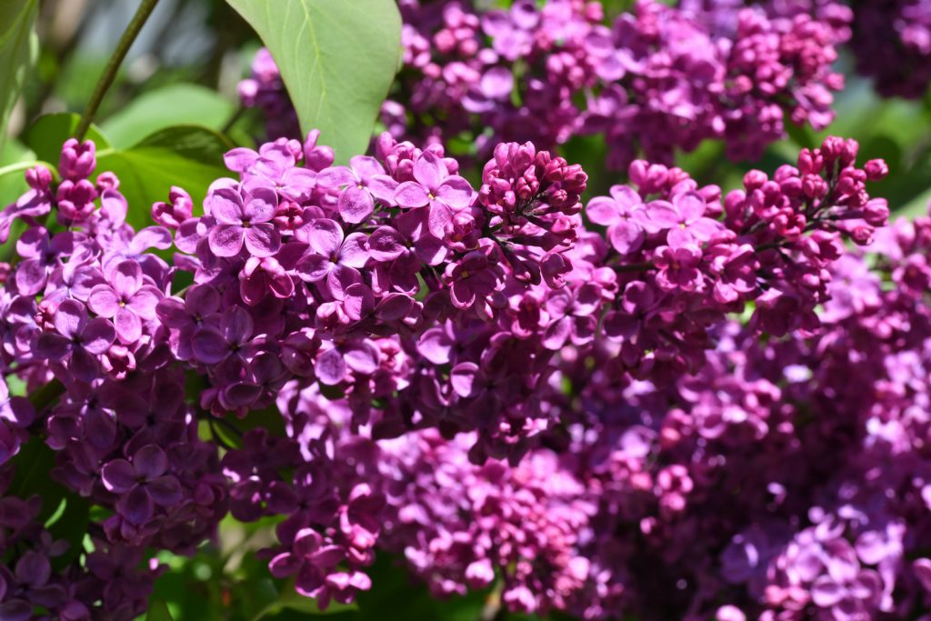 Closeup of purple lilac flowers on a lilac tree in a garden