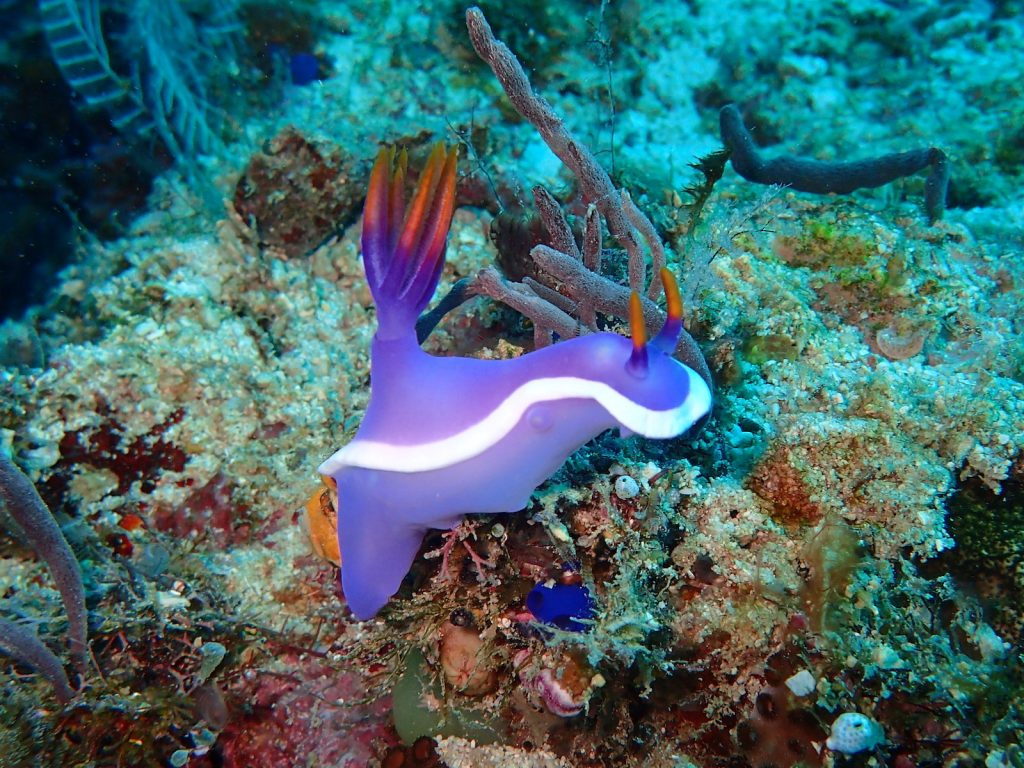 Close up of an Purple Nudibranch on a coral reef in the ocean