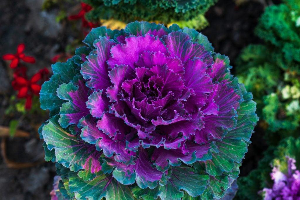 Closeup of purple ornamental cabbage in a garden