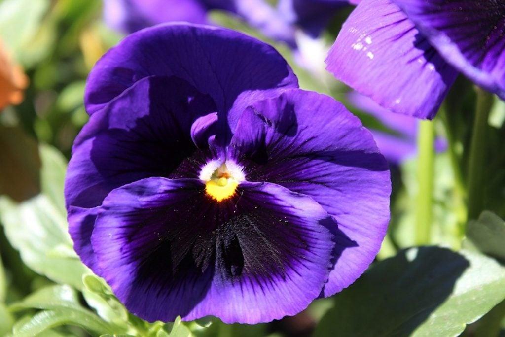Closeup of purple pansies flower head in a garden