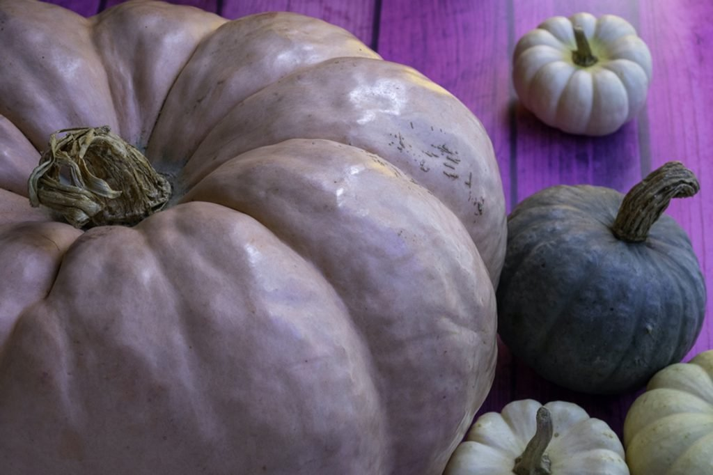 Purple pumpkin in focus