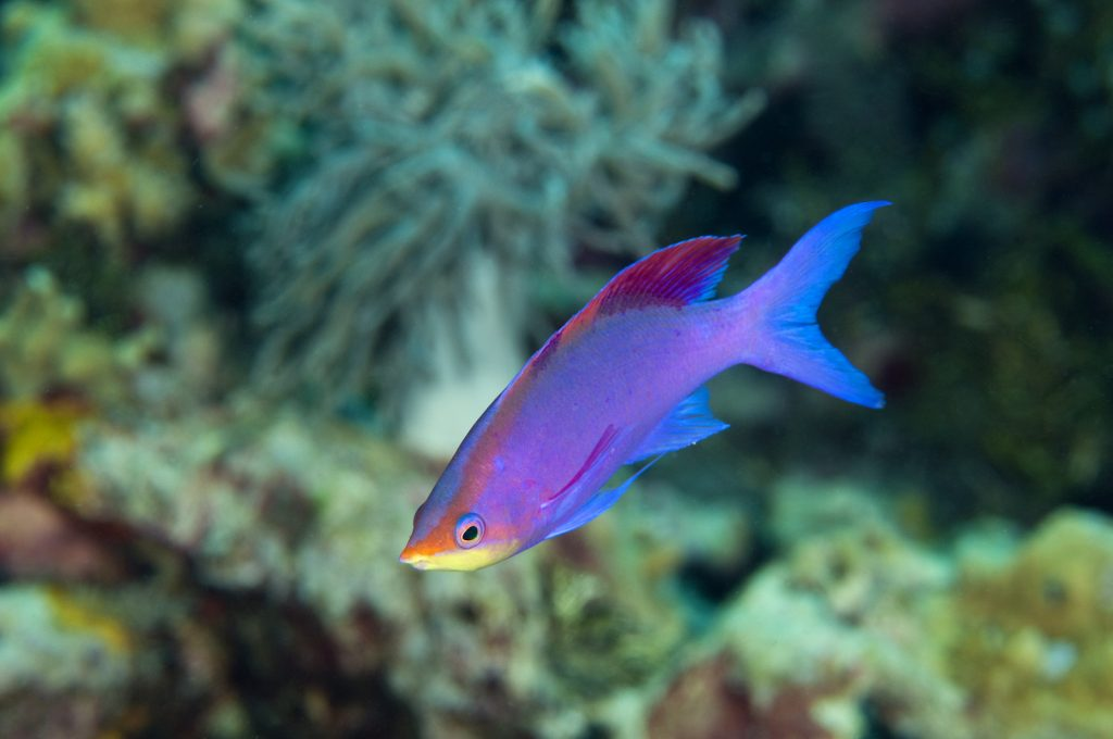 Close up of male purple queen anthias in the ocean