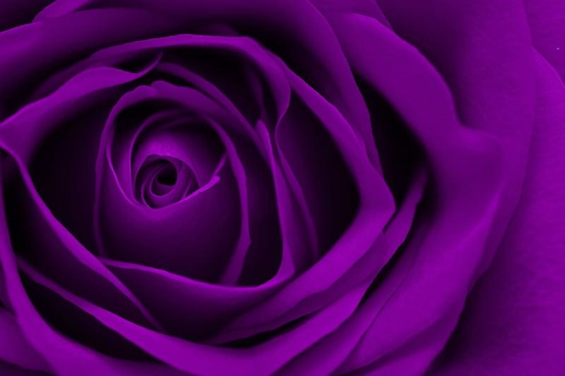 Purple Rose Close Up Macro