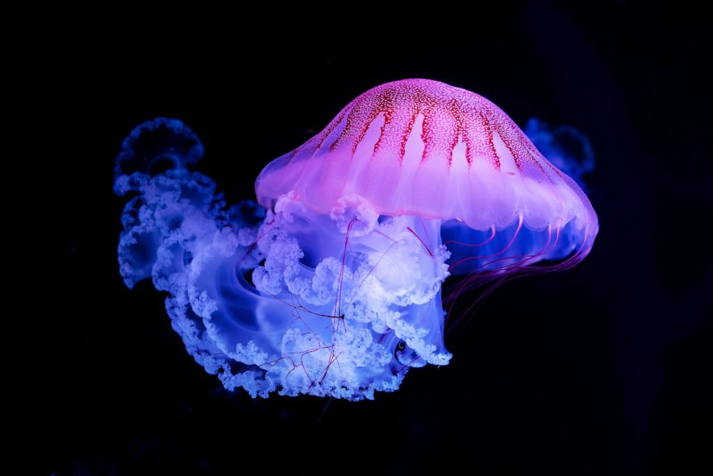 Purple striped Jellyfish isolated on black background