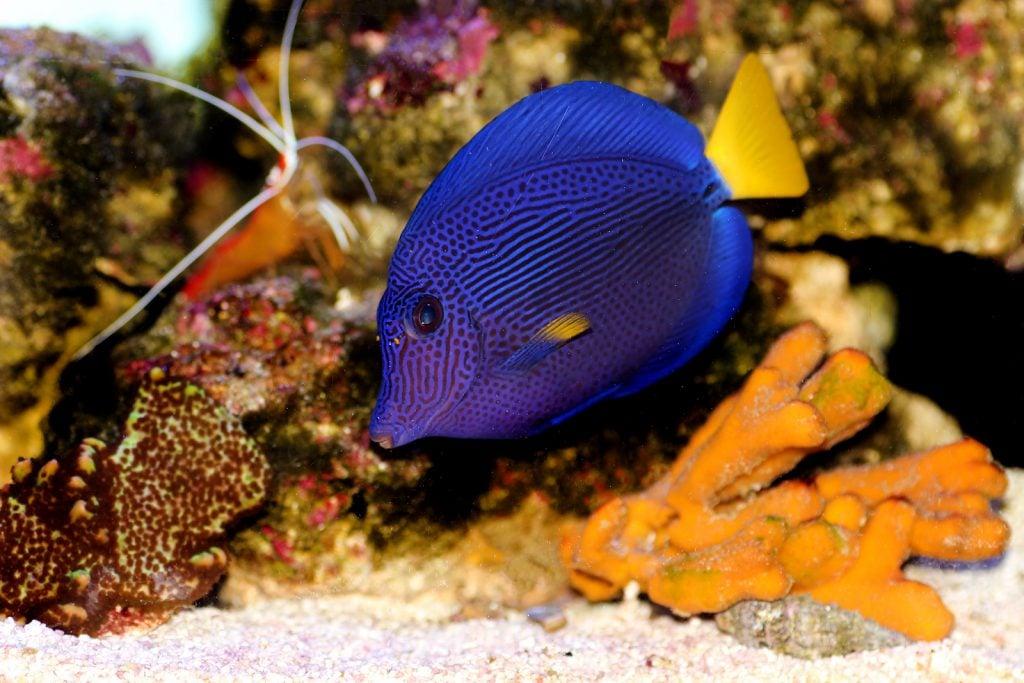 Close up of Purple Tang in an aquarium