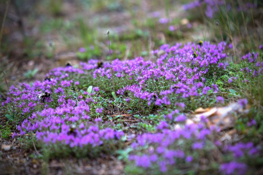 Purple thyme blooming in the forest with bumblebees on the flowers