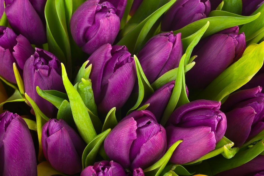 Close up of a bouquet of purple tulip flower heads