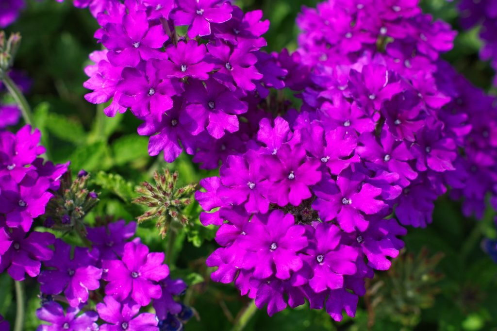 Close up of purple Verbena flowers in a garden