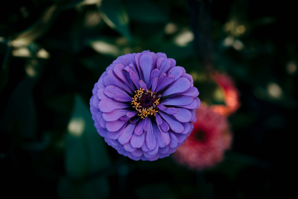 Close up and top view of an purple zinnia flower head