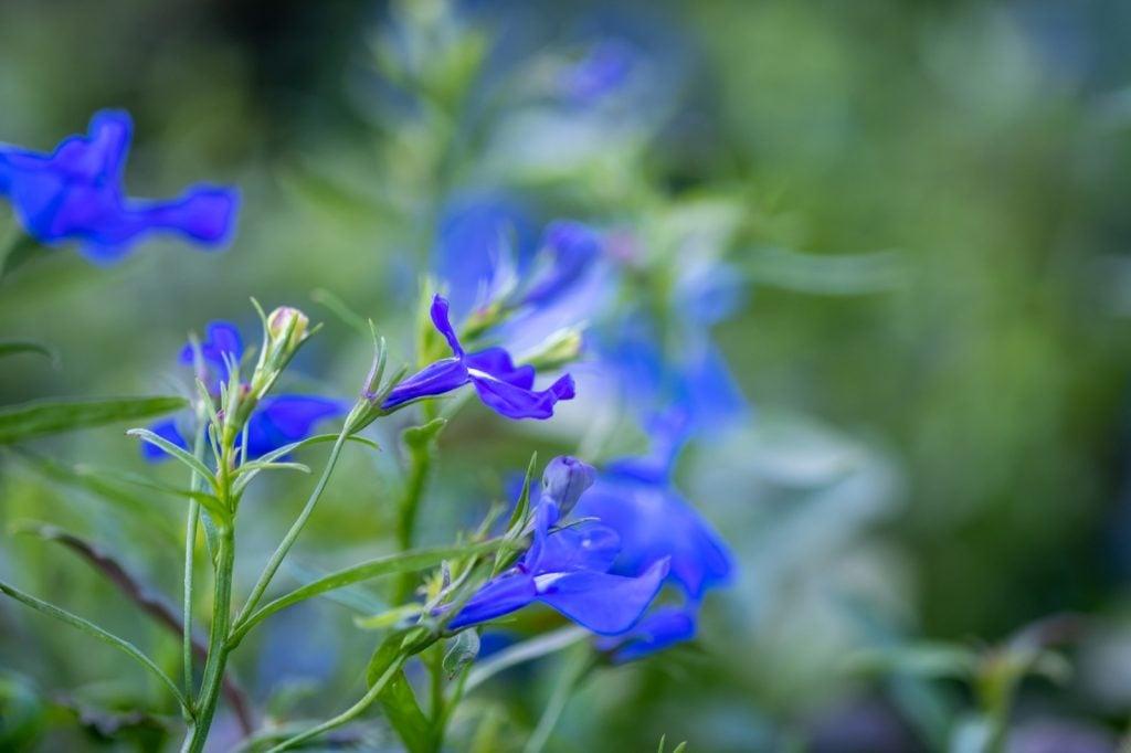 Radiant blue Salvia Patens or gentian sage flowers
