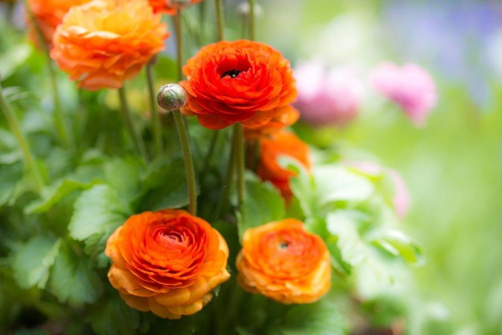 Orange ranunculus asiaticus flowers in full bloom in the garden