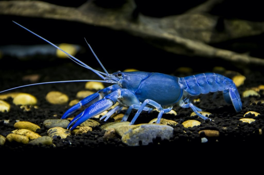 Rare colorful blue lobster up close