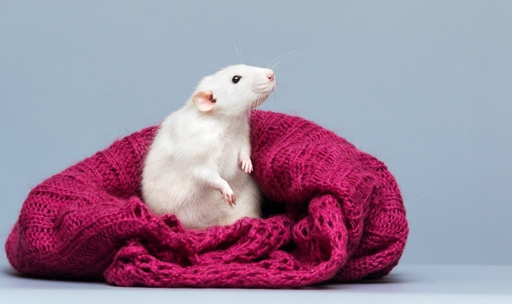Curious rat peeking out of a red colored woolen bag