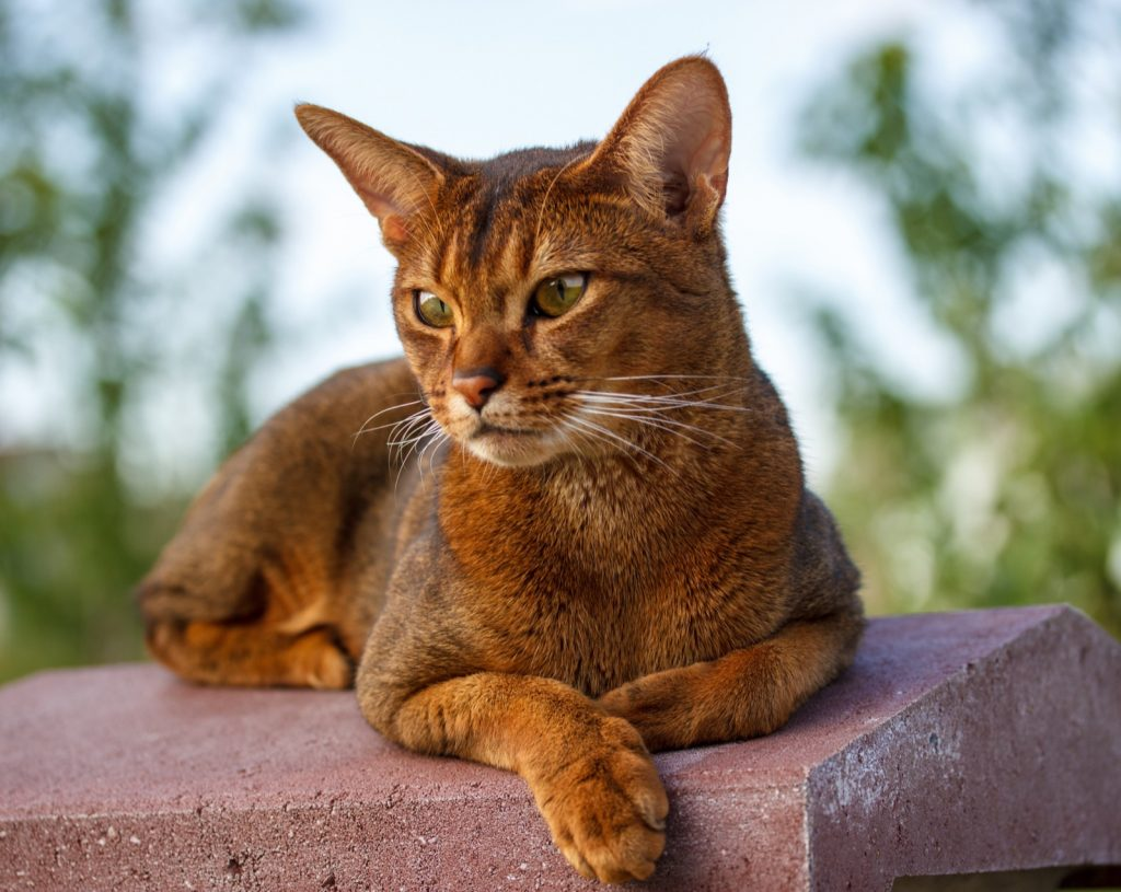 Red Abyssinian cat relaxing on stone fence