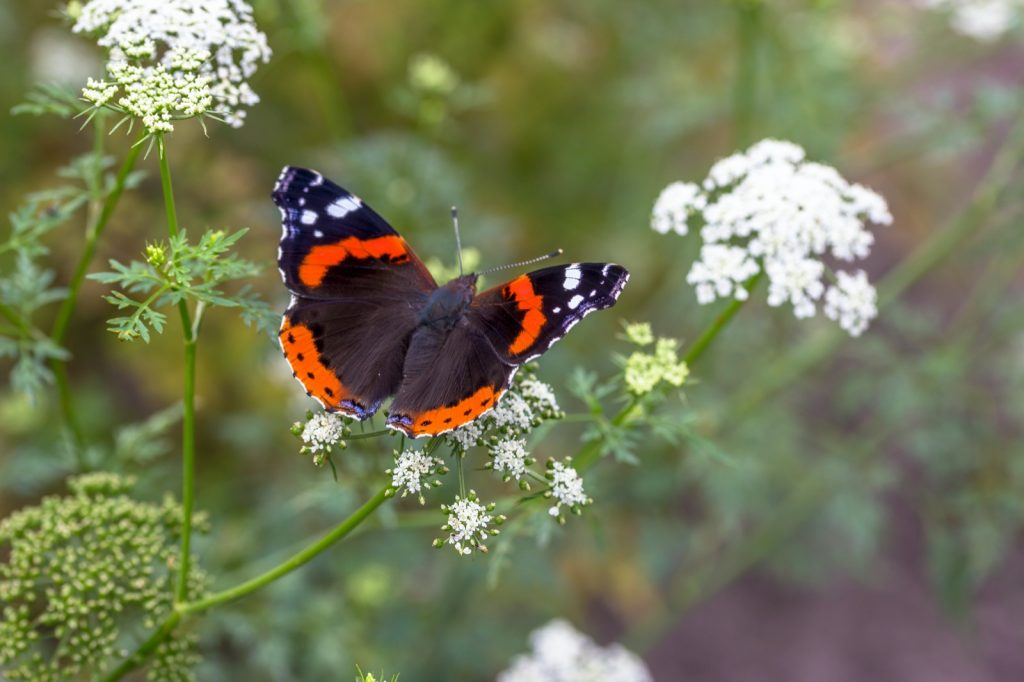 The red admiral butterfly or Vanessa Atalanta