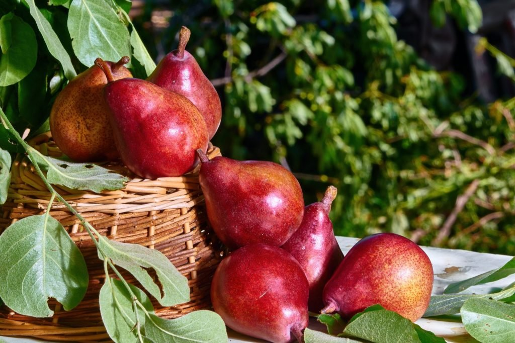 Red Anjou pears on basket with fresh green leaves