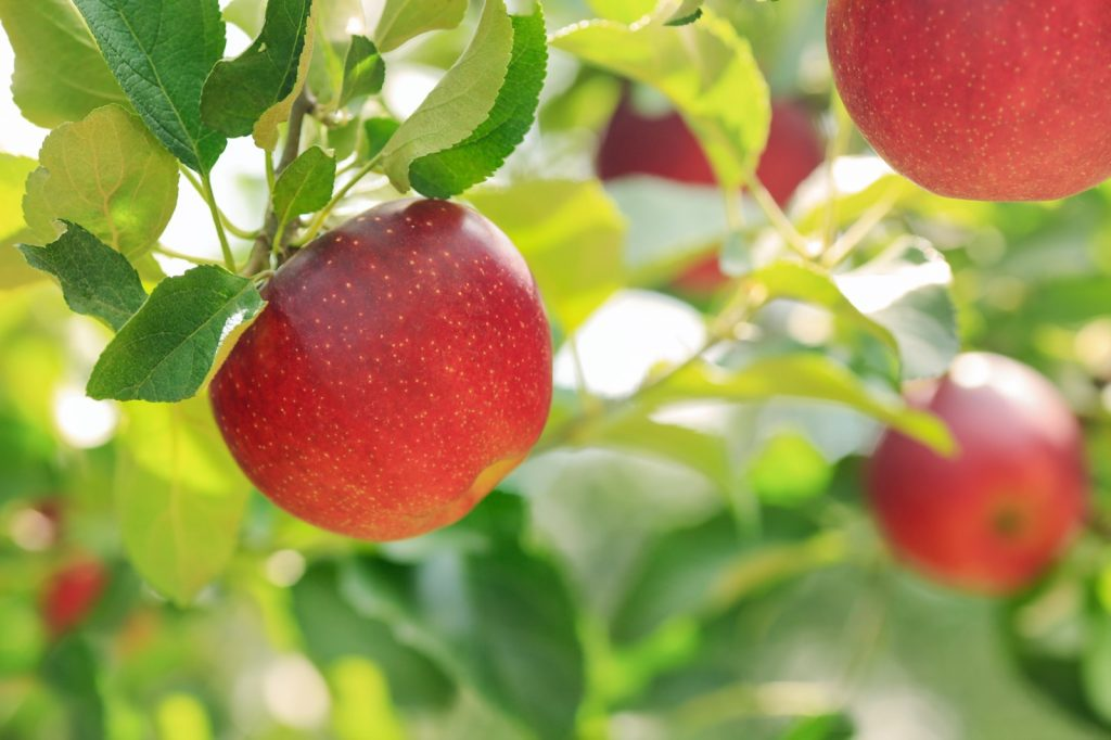 Red apples with green foliage of apple trees in the background