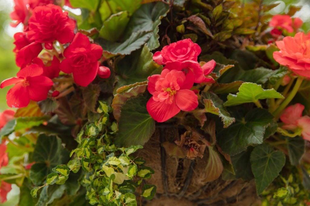 Red begonias blooming in garden