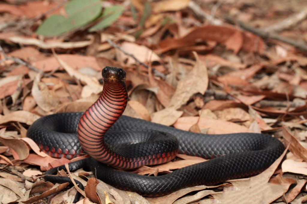 Red-bellied black snake on the leafy forest floor