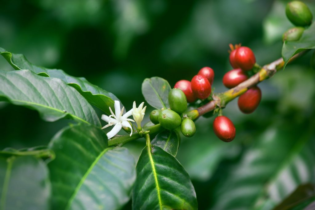 Red berries called coffee cherries on a tree branch