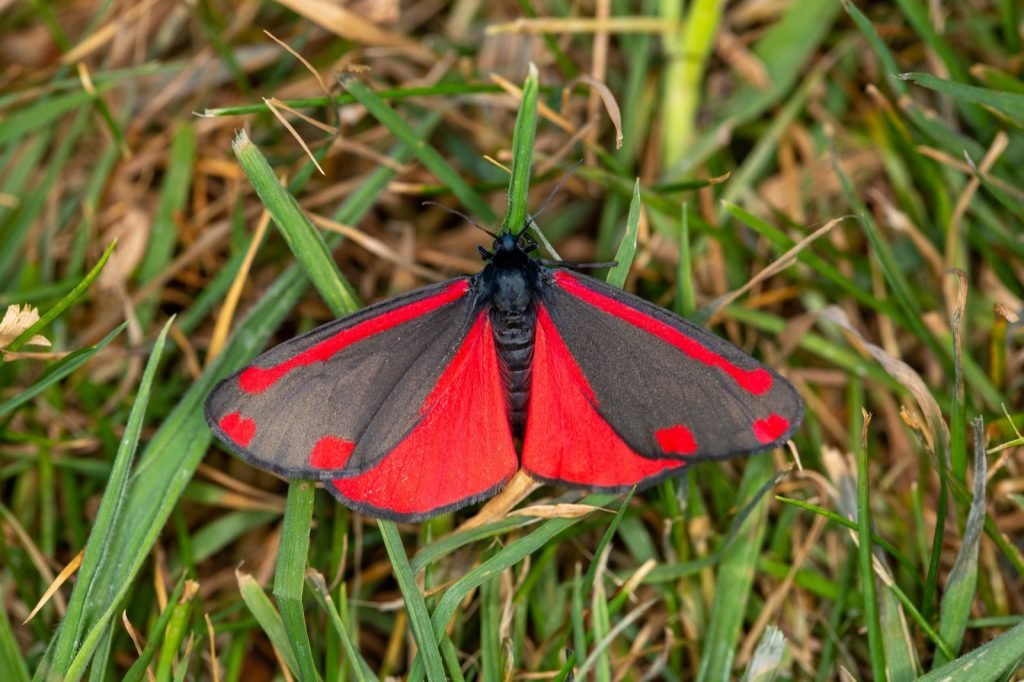 Red and black cinnabar moth aka Tyria Jacobaeae