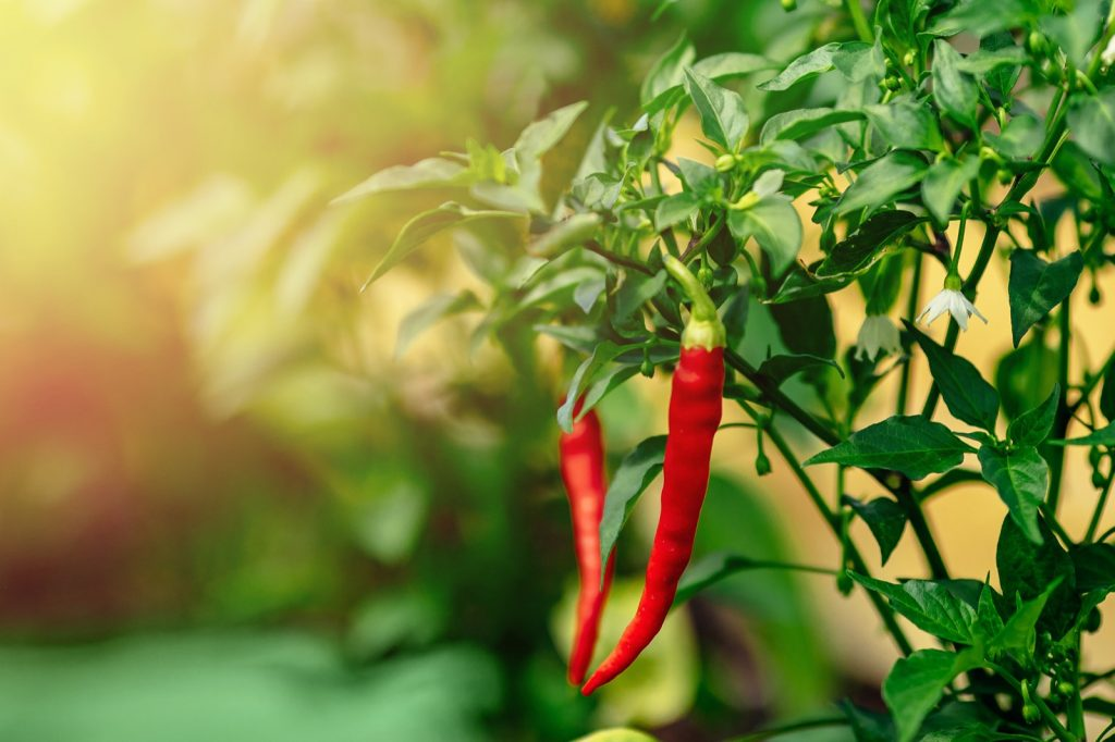 Red chili pepper growing on green branch in greenhouse