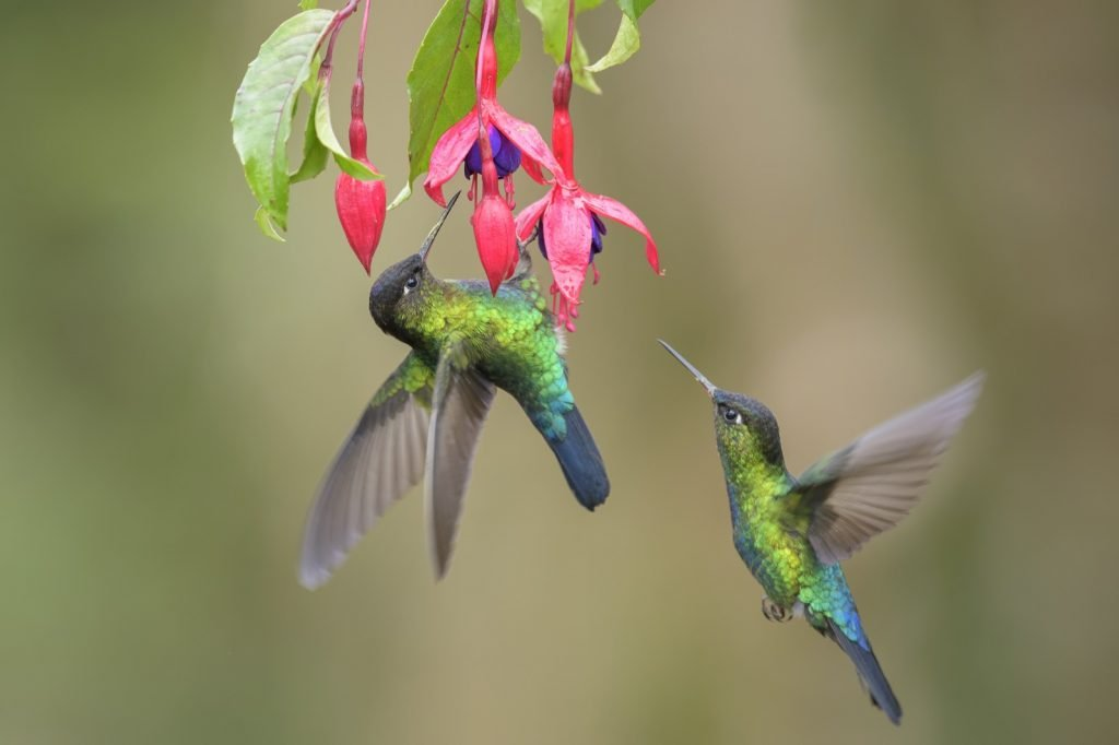 Red colored flower attracting two flying hummingbirds