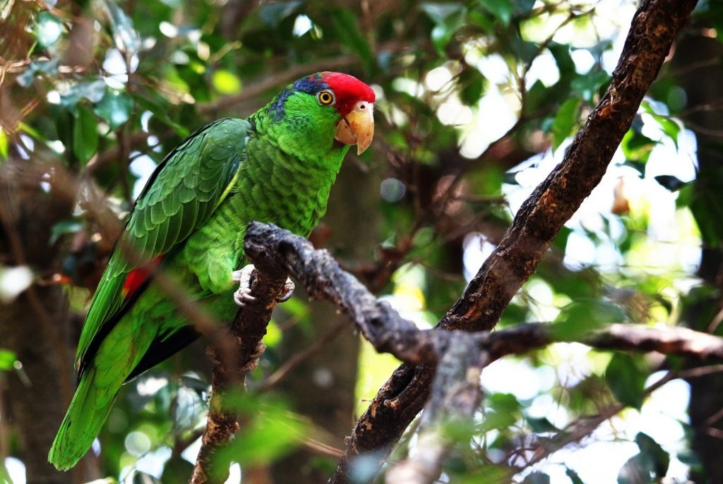Red-Crowned Amazon Parrot sitting in a tree