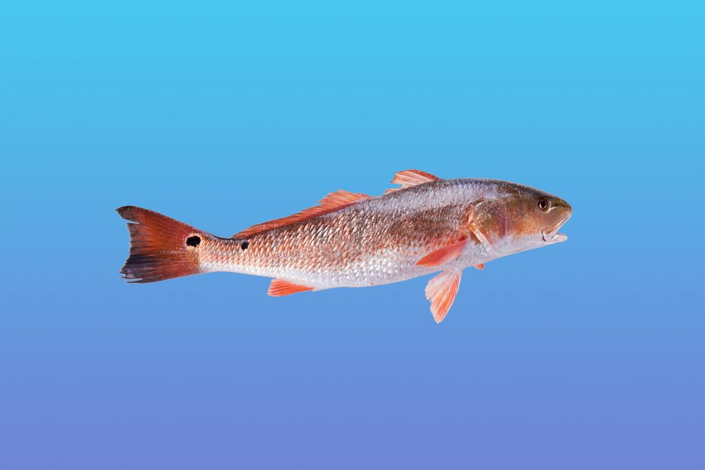 Red drum or Sciaenops Ocellatus isolated on a blue background