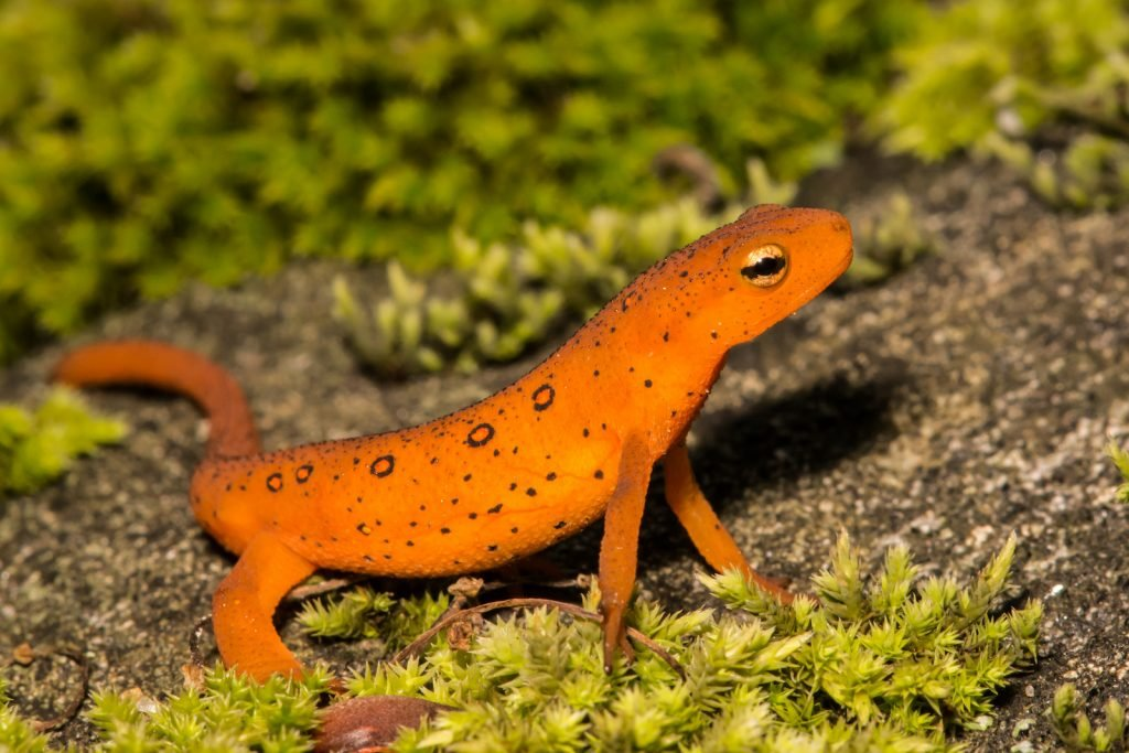 Closeup of single red eft sitting on a rock with green vegetation