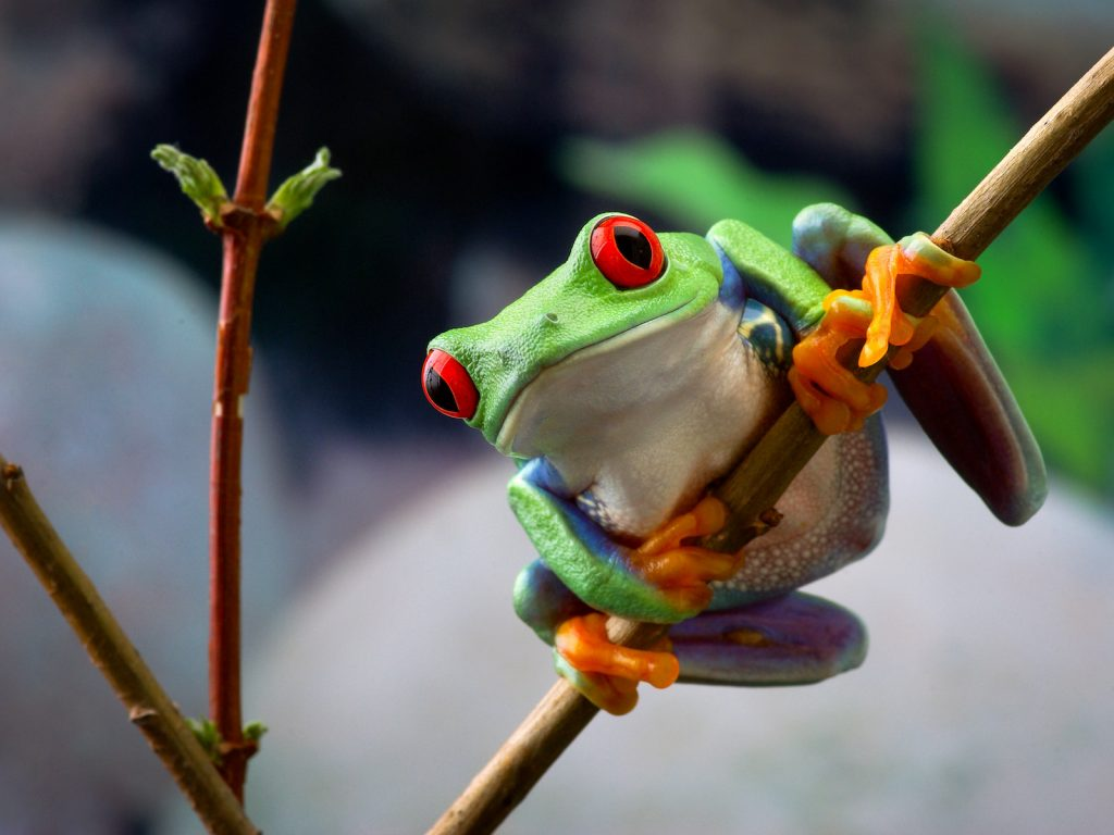 Red-eyed tree frog. Frog with red eyes and green and blue color skin clinging onto a twig