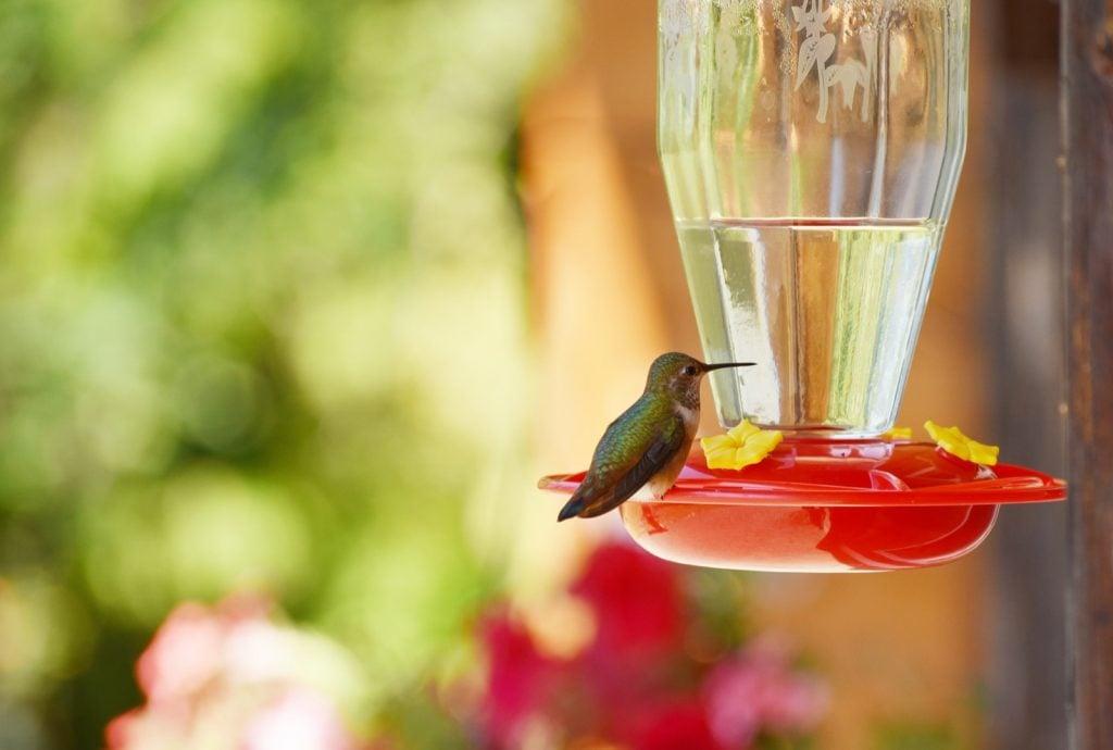 Hummingbird sitting on feeder with blurred background