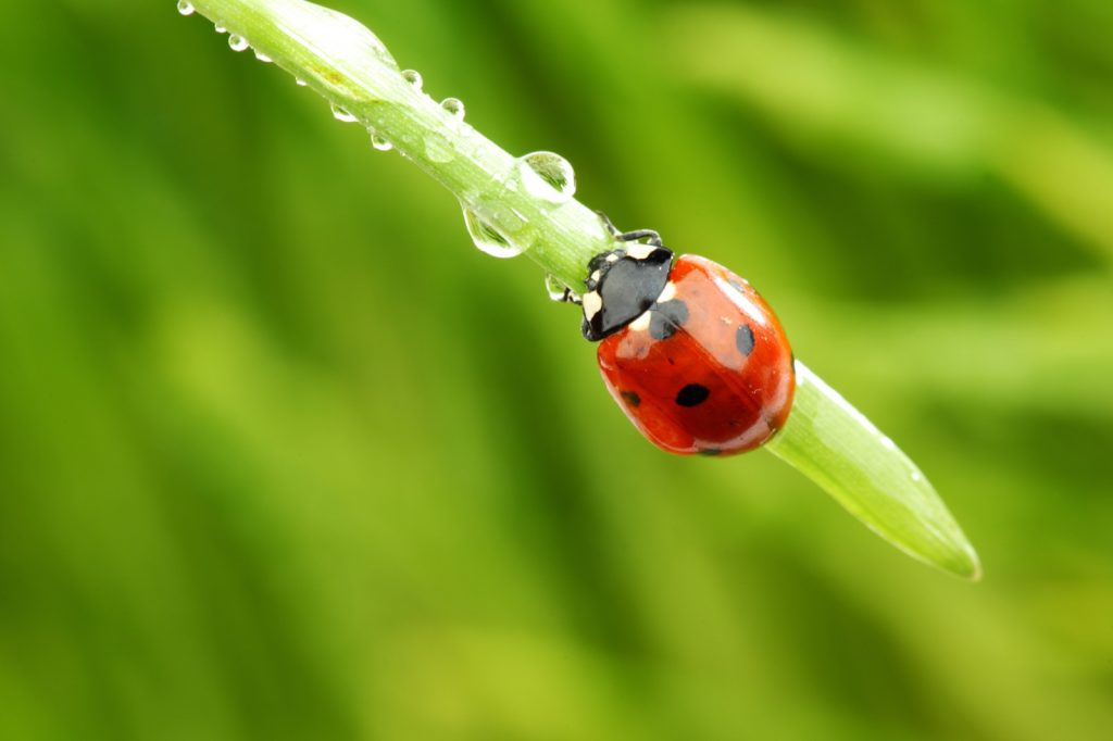 Red ladybug with small black spots crawling on grass straw with raindrops