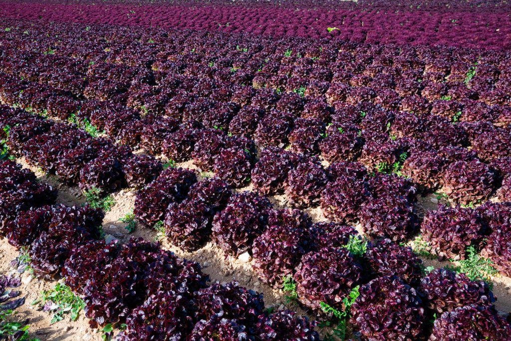 View of red leaf lettuce field waiting to get harvested