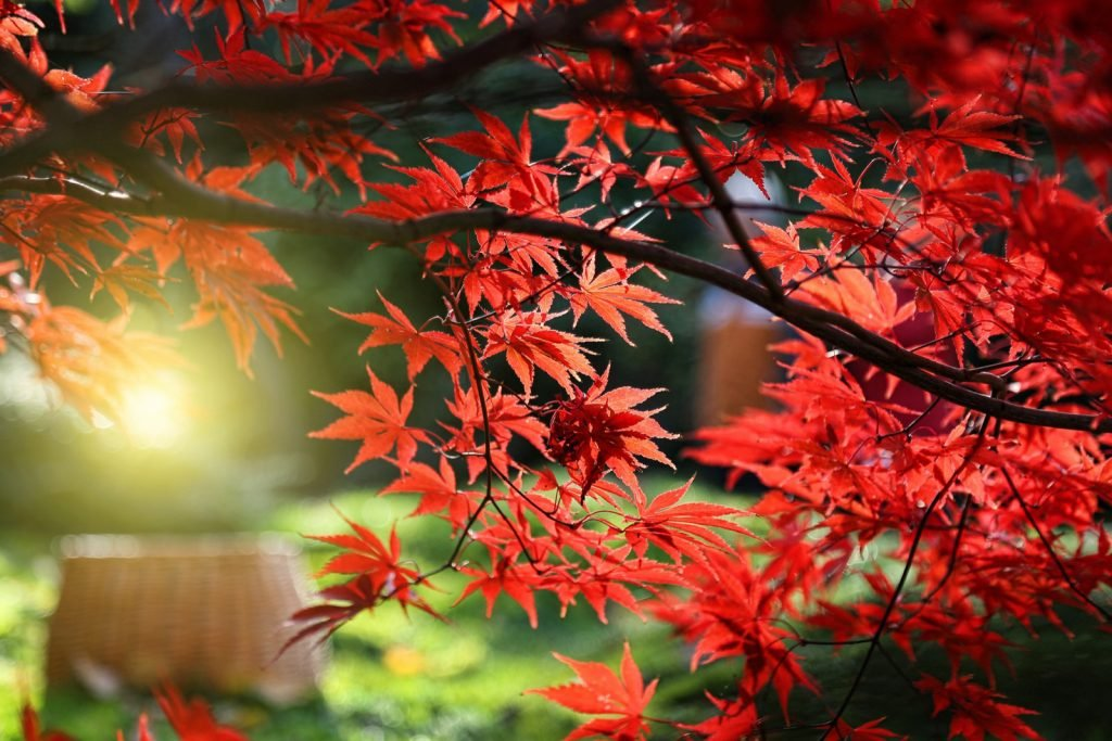 Bright red leaves of Japanese maple tree or Acer Palmatum in the sunlight