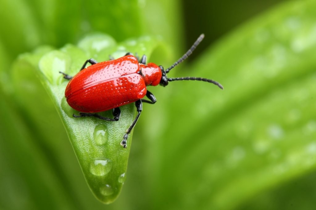 Red lily beetle on a green leaf in a garden