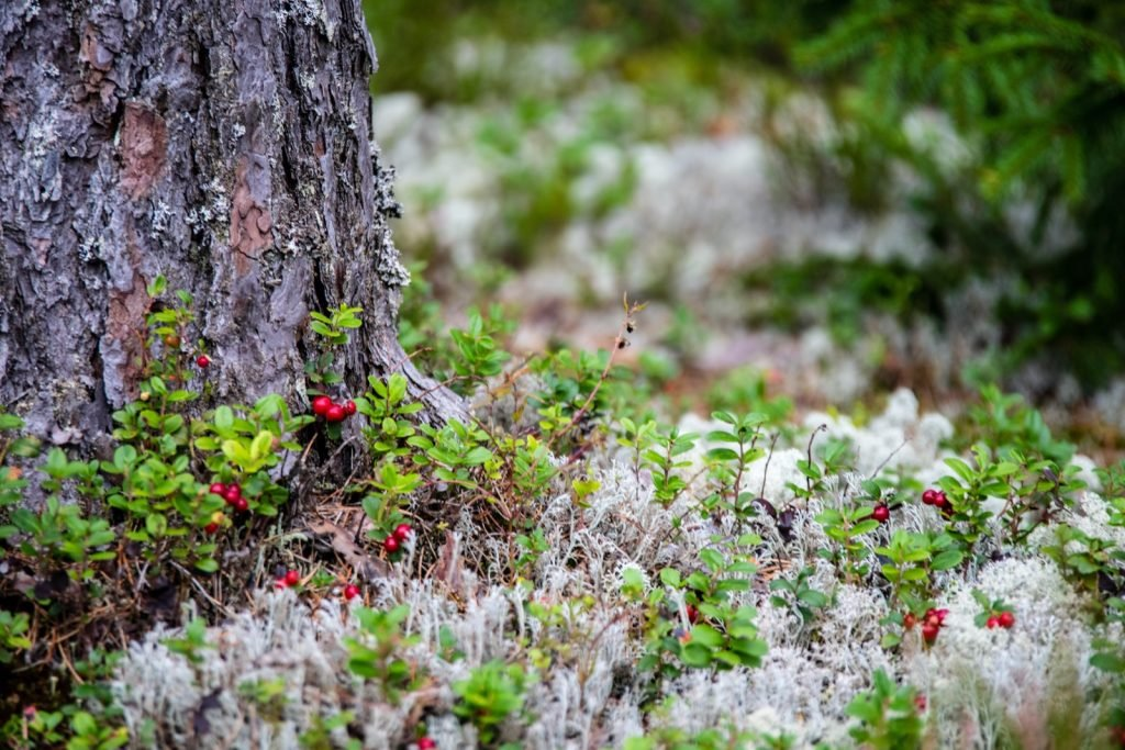 Red lingonberries or cranberries growing in moss in the forest