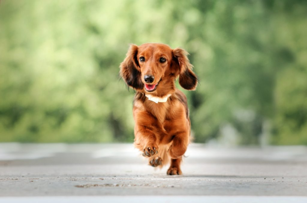 Red long-haired dachshund running on the pavement