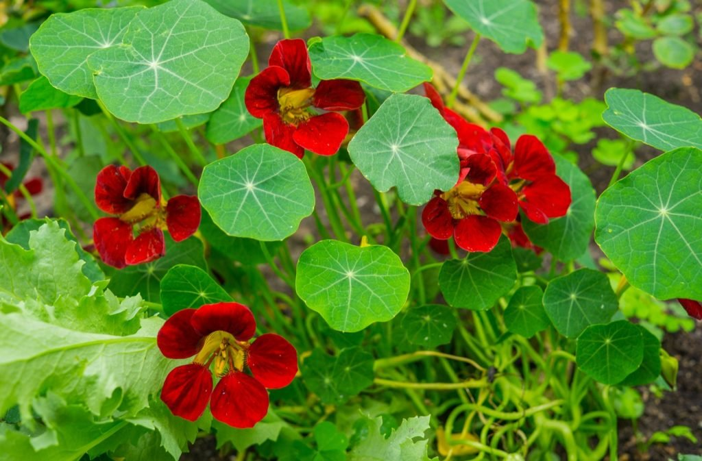 Red Nasturtium flowers with colorful green leaves