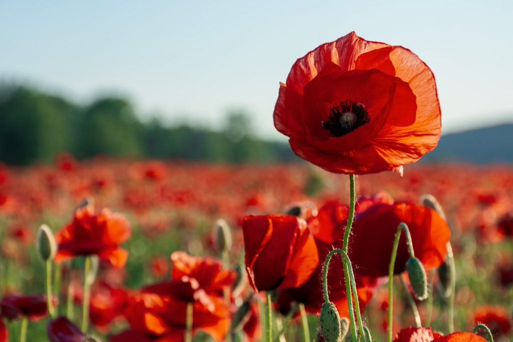 Red poppy flowers on a field with a blurred background