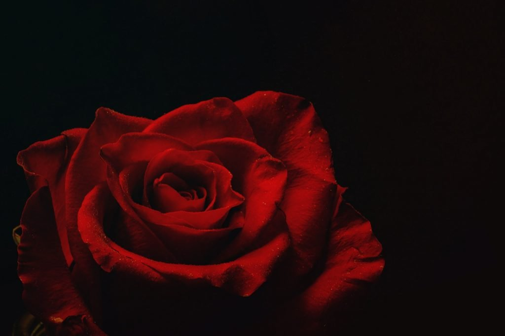 A red rose in a dark room where the lights have been dimmed