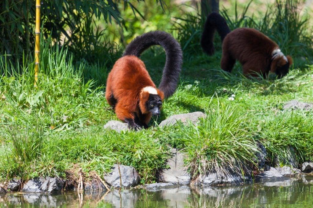 Red ruffed lemurs aka Varecia Rubra on the ground next to a pond