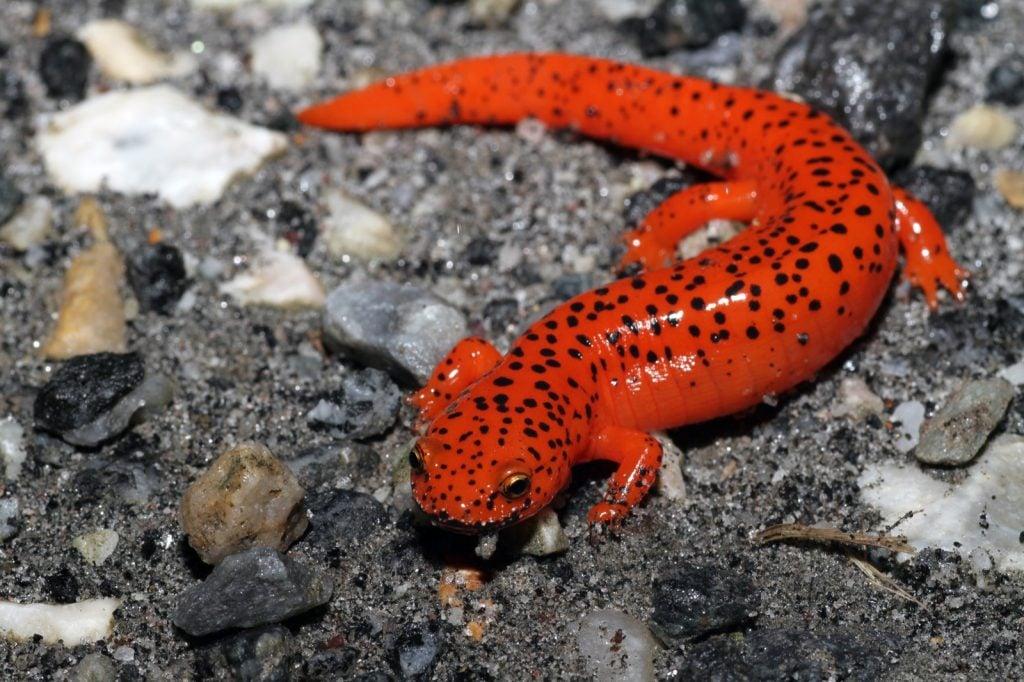 Red salamander aka Pseudotriton Ruber on sandy ground